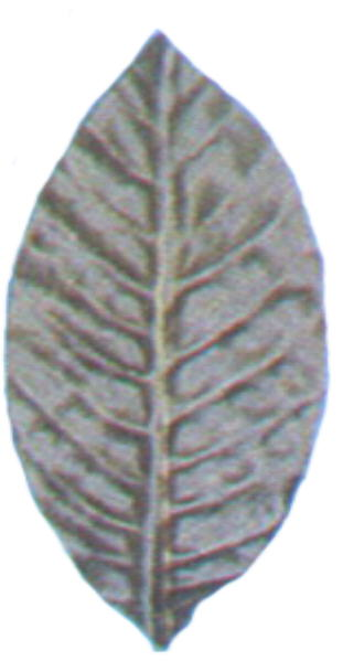 Silk Manolia Leaf 8""